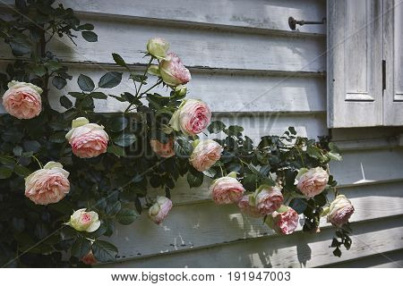 Roses climbing the walls of a country house