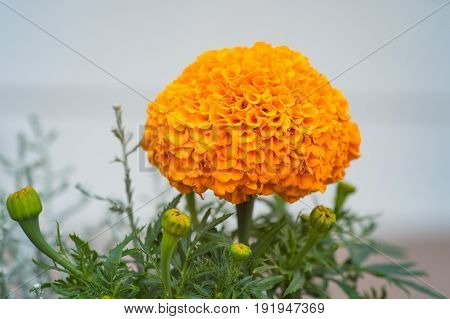 Close-up of an orange Marigolds Tagetes erecta Maxican marigold Aztec marigold African marigold