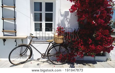 Old Bicycle leaning against a white wall and Burgundy flowering Bougainvillea bushes