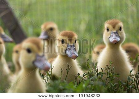 nice little ducklings on the green field