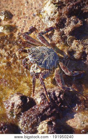 the big crab sits on the seashore among cockleshells and seaweed