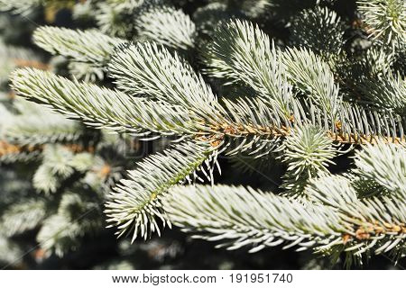 Photos Natural Background Branch Blue Spruce Growing In The Park.