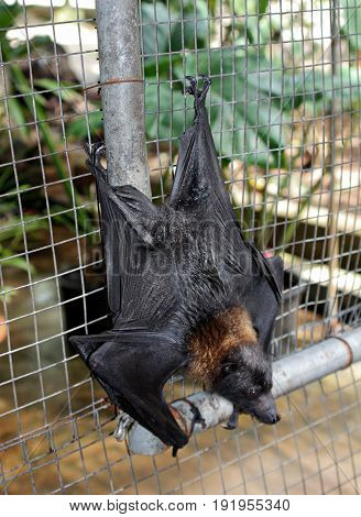 fruit bat, upside down back view A fruit bat hangs upside down in a wire cage with its back