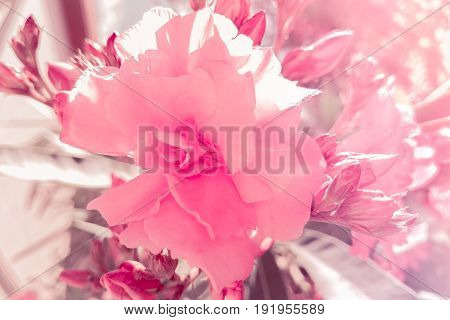 detail of pink rose in the garden under sun light holiday event valentine day and love concept