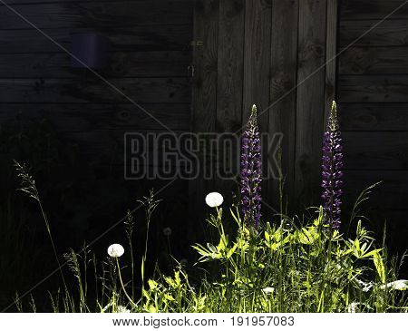 Sunlit flowers in grass on background of old wooden barn