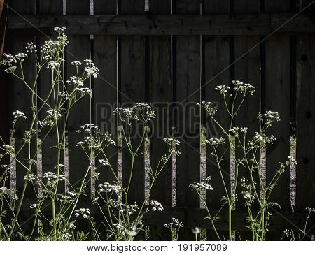 Sunlit flowers in grass on background of old wooden fence