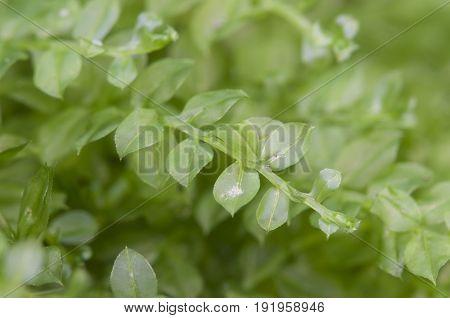Moss (Tetraphis pellucida) close up shot local focus