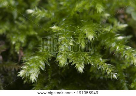 Moss (Hypnum cupressiforme) close up shot local focus
