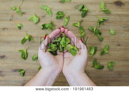 Hands hold fresh green baby orach saltbush edible wild plants on wooden background. Eating healthy organic green local food. Vegetarian vegan lifestyle