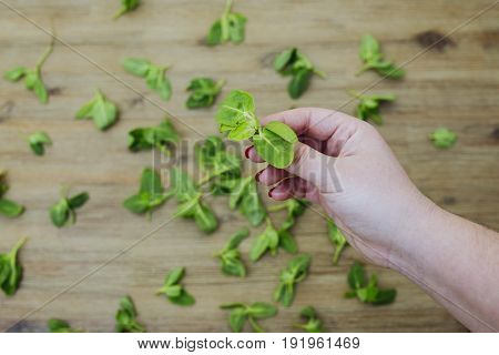 Hand holds fresh green baby orach saltbush edible wild plants on wooden background. Eating healthy organic green local food. Vegetarian vegan lifestyle