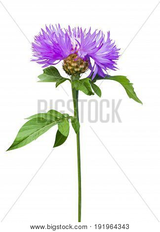 milk thistle flower. milk thistle. Flowering Milk thistle on white background. thistle flower isolated on white background