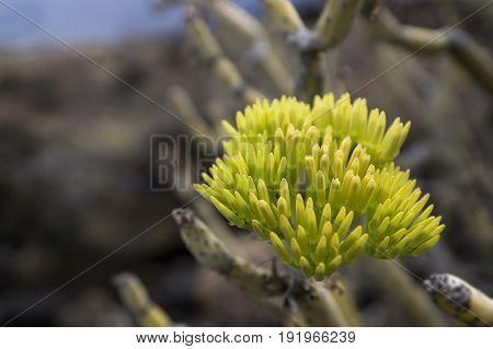 Yellow Green Cactus Blossom