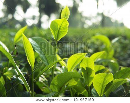 close up of tea leaves
