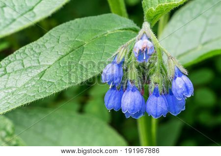 A bunch of blue or purple flowers in the form of a bell. In the background green leaves. One of the flowers affected or infected by some disease. Visible pistils and stamens.