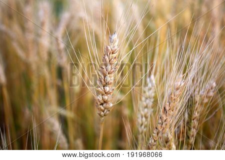 Yellow gold wheat in the field background