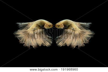 two gold betta fish fighting fish Siamese fighting fish isolated on black background Pla-kad biting fish Thai Clipping path included, look like bird or gold heart