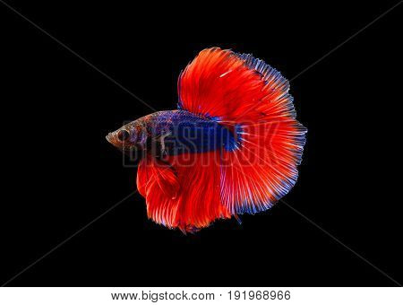 colourful betta fish fighting fish Siamese fighting fish isolated on black background Pla-kad biting fish Thai Clipping path included