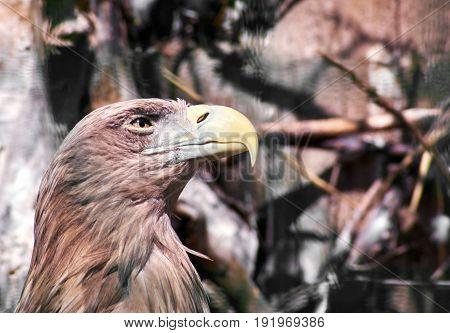 Eagle With Yellow Beak
