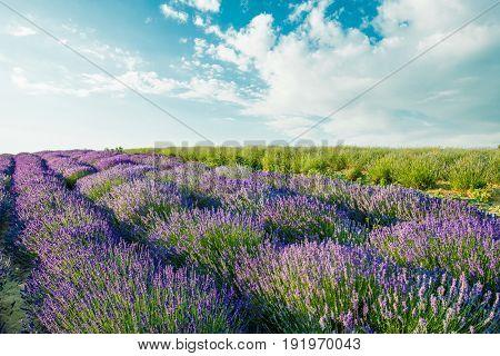 Lavender field in sunlight. Beautiful image of lavender field.Lavender flower field, image for natural background.Very nice view of the lavender fields.