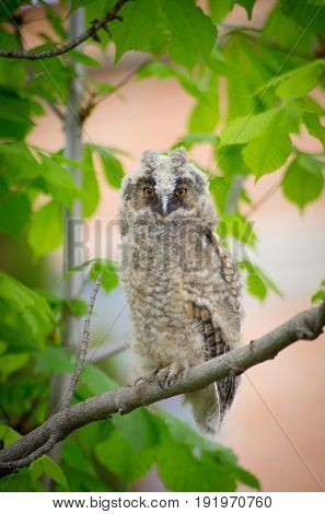 Grey owl on the tree