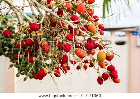 Red sealing wax palm lipstick palm on tree