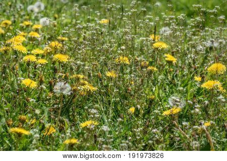 Beautiful floral background with shallow white wildflowers and yellow dandelions growing in a meadow on a sunny day