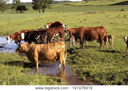 Several Hereford cows drinking from a small stream in central Wisconsin.
