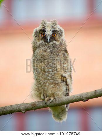 Grey owl on the tree
