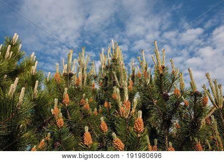Flower Pinus montana (Pinus Mugo), blooming female cone