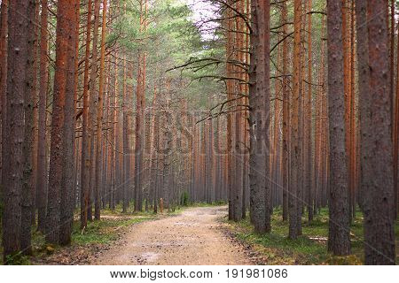 Path In The Pine Forest, Stretching Into The Distance, Even Trunks Of Pine Trees On Both Sides