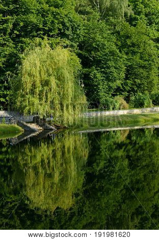 Old willow on the riverbank in summer touching water