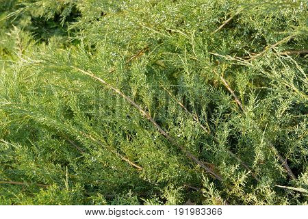 Green Hedge of Thuja Trees cypress juniper . Bush.. Thuja green natural background. Hedge of thuja trees close up. Texture. Green Hedge of Thuja Trees. Leaves of pine tree