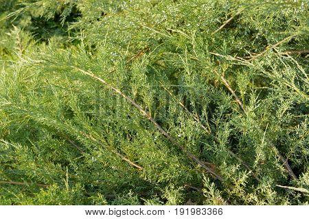 Green Hedge of Thuja Trees cypress juniper . Bush.. Thuja green natural background. Hedge of thuja trees close up. Texture. Green Hedge of Thuja Trees. Leaves of pine tree