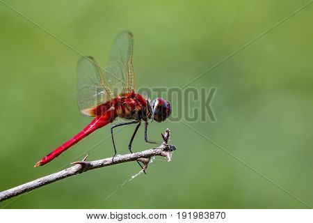 Image of a dragonfly (Macrodiplax cora) on nature background. Insect Animal