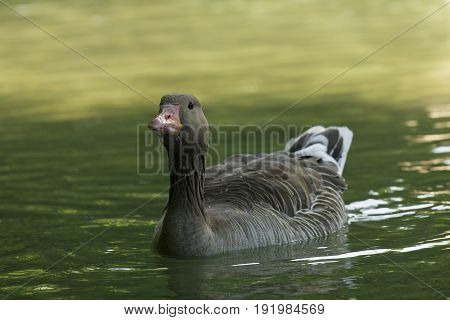 View on a beautiful Greylag Goose at the Lake. A Greylag Goose at the Lake. Close-up of a floating Greylag Goose (Anser) in the Morning.