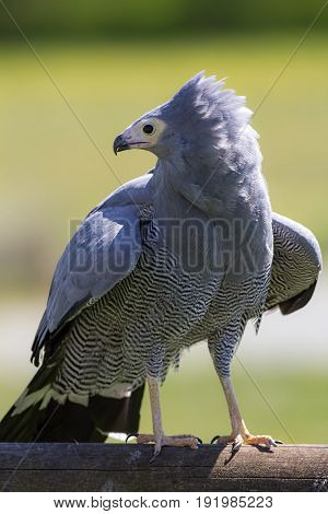 Bird of prey. African harrier hawk or gymnogene (Polyboroides typus) standing. Magnificent nature on display.