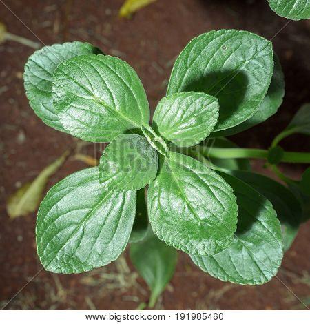 Green Plant Named Boldo Da Terra
