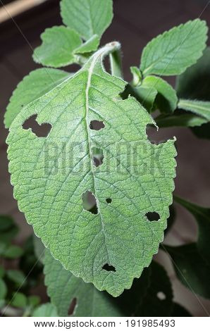 Boldo Leaf Eaten By Insects.