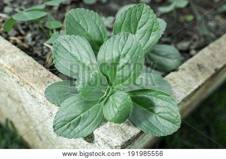 Green Plant Named Boldo Da Terra Planted In A Vase
