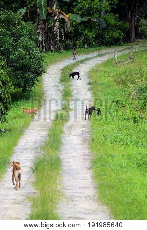 Wild homeless dogs wondering in empty jungle village road