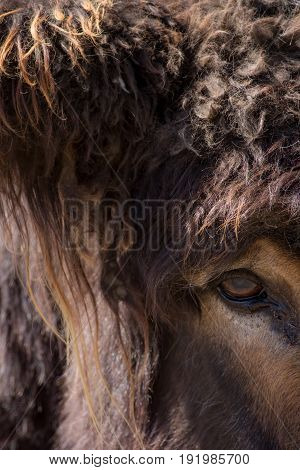 Beast. Mythological creature: minotaur troll or giant hairy monster. Actually a close up of the face of a large poitou donkey.