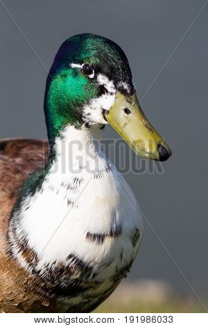 Manky or hybrid domestic male mallard duck. Drake mallard with white neck. A variation of the normal wild mallard bird.