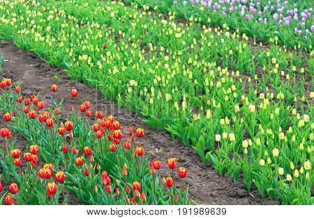 Field of different tilips in the spring