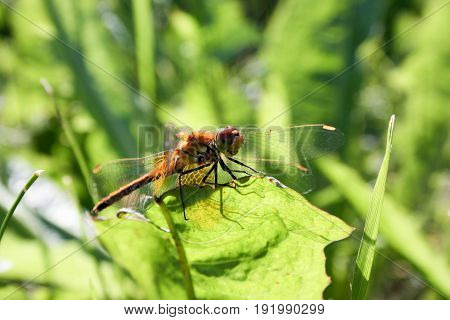 An orange dragonfly on a blade of grass. Sat down to rest. Photo for your design