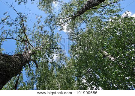 Birches view from below upwards, blue sky with white clouds