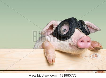 Glass animal pig aviator piglet baby animal young animal