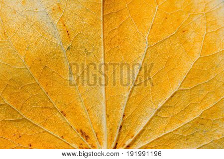 Macro view of orange and red autumn leaves texture as background or wallpaper.