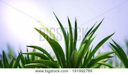 Thriving green aloe plant with soft background