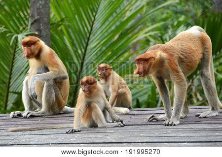 Group of Proboscis monkeys in Labuk Bay sanctuary