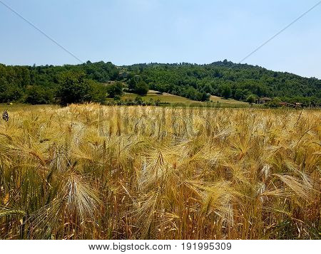 Grain fields with gold ears in italy